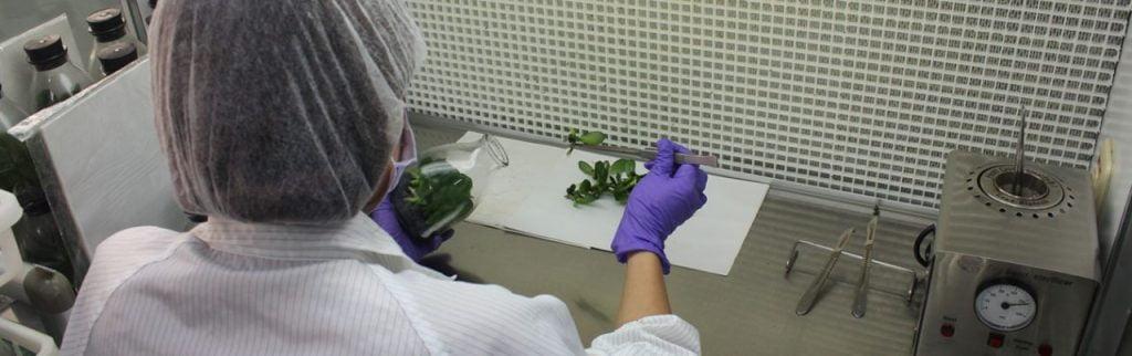 Hormone nuôi cấy mô thực vật